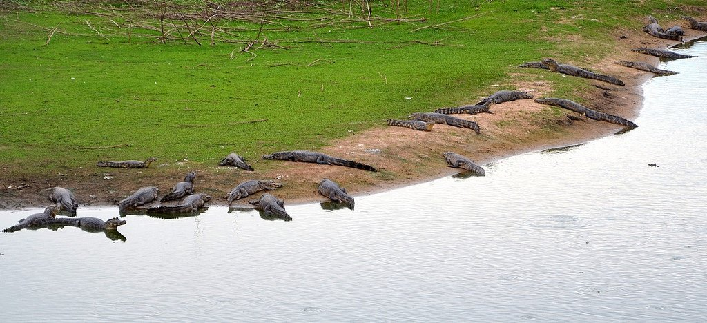 Alligators in the Pantanal, Brazil. Photo by A. Duarte via Flickr CC