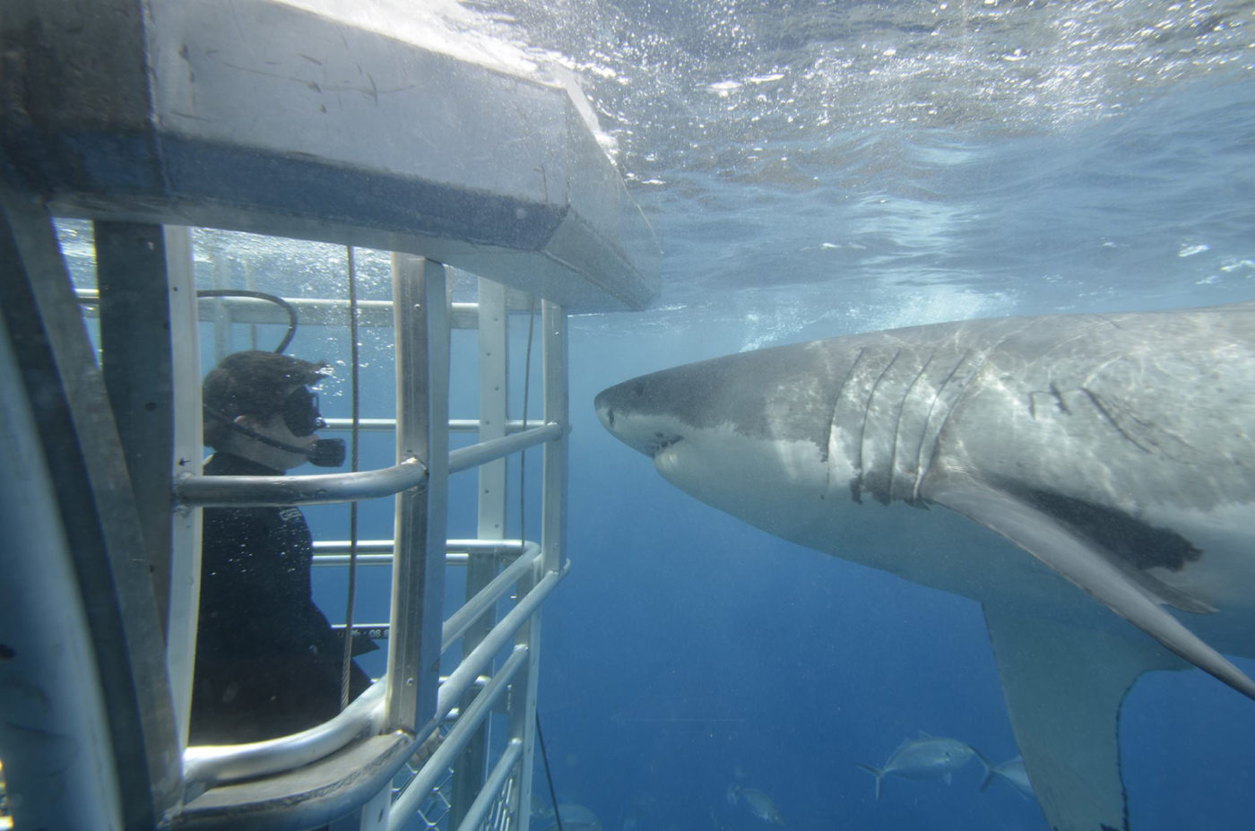 What to do in Port Lincoln: Shark Diving