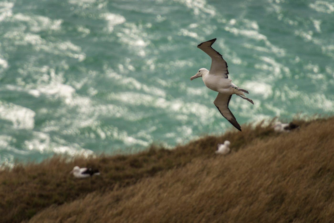 Albatross in Dunedin, Otago, South Island, New Zealand. Photo by DunedinNZ