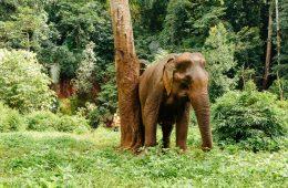 Ethical Wildlife Tourism: Mondulkiri EVP Elephant