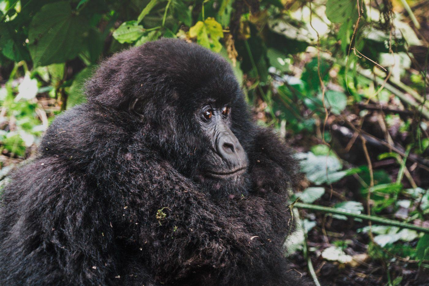 gorilla trekking uganda in Bwindi Impenetrable National Park