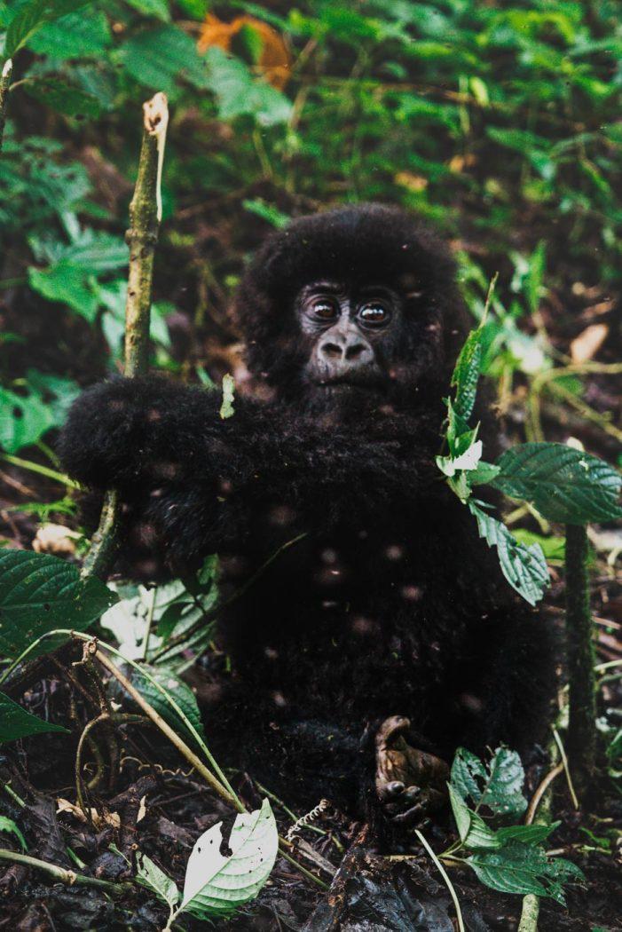 baby gorilla while gorilla trekking in congo