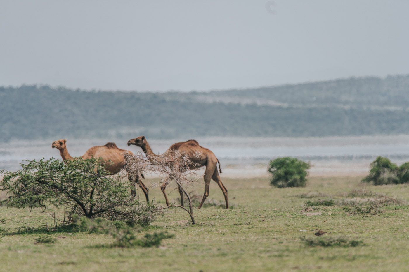 Camels roaming around the lake. Ethiopia can be a bit bizarre like that!