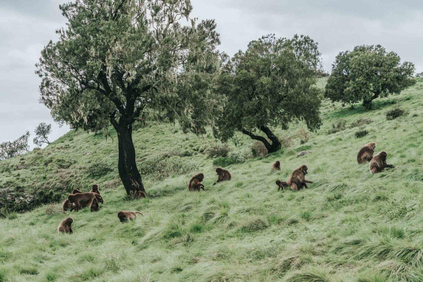 Troop of gelada monkeys in Simien Mountains National Park, Northern Ethiopia