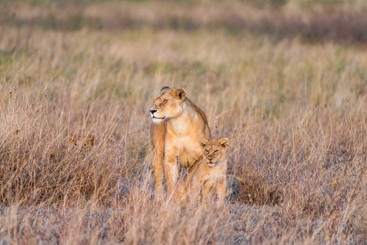 Big Cats of the Serengeti, Safari