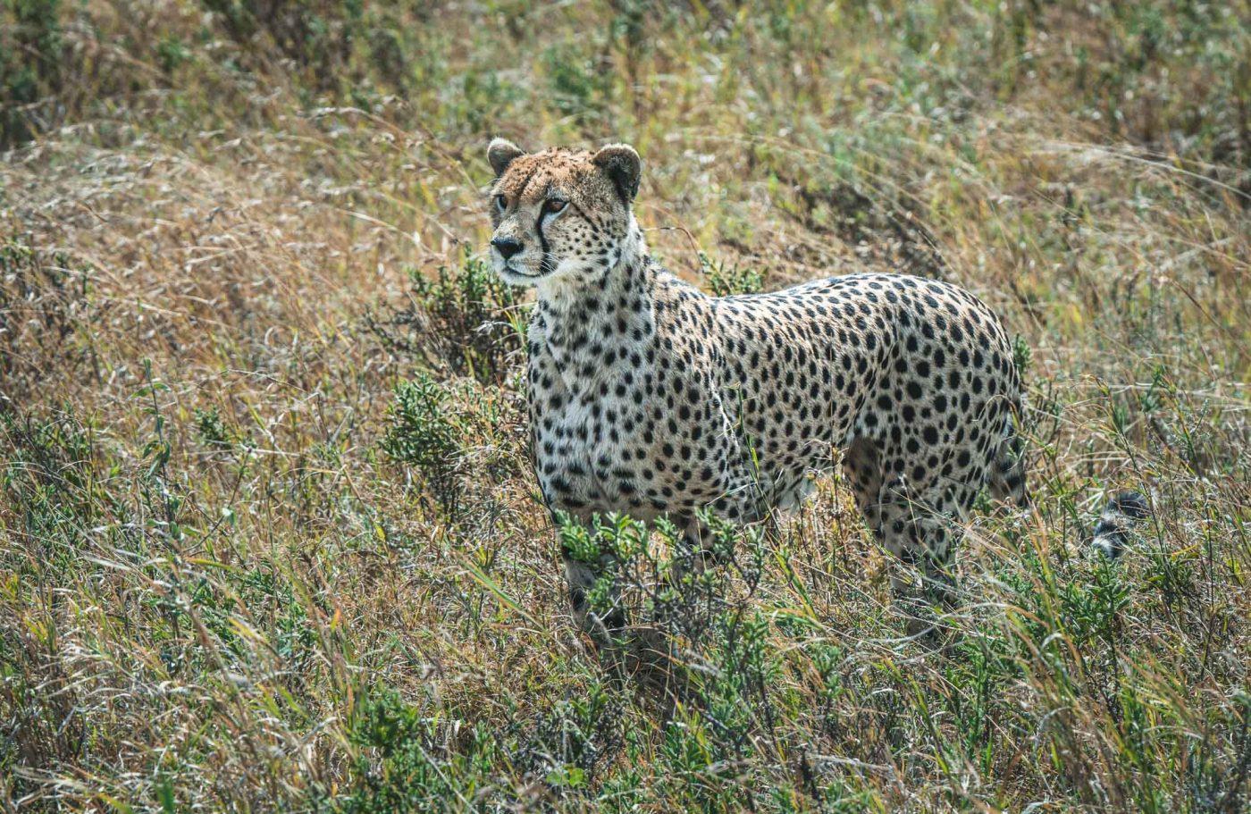 Serengeti Safari, big cats