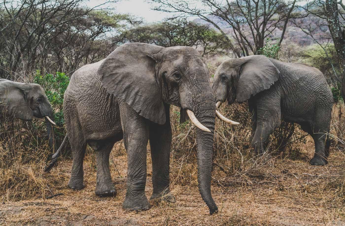 Serengeti Safari big 5, elephants
