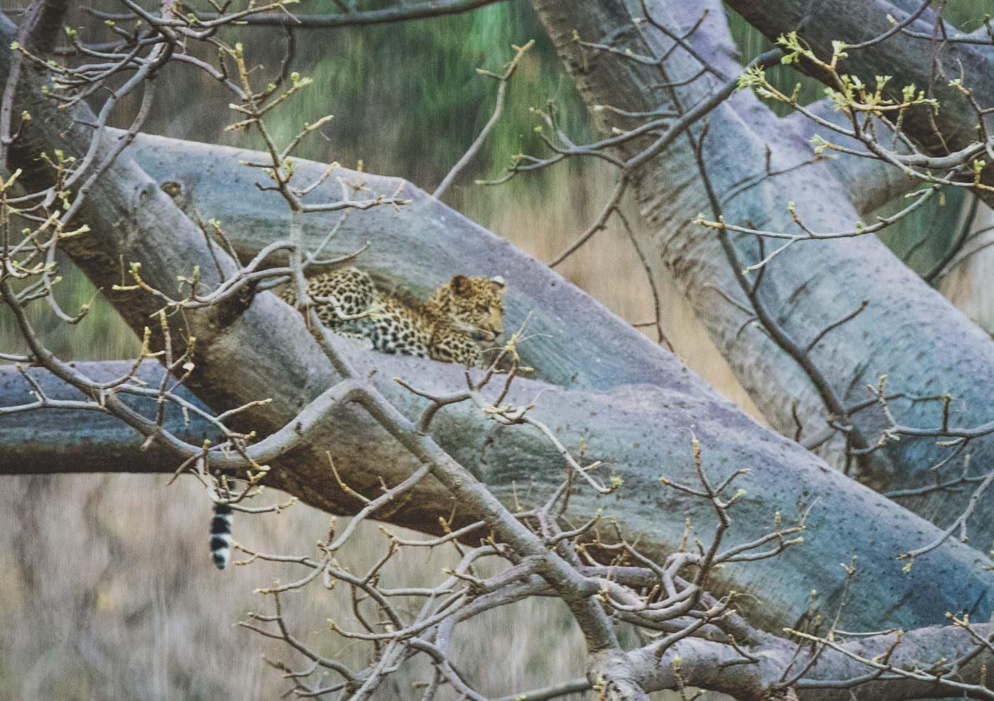Serengeti Safari big cat