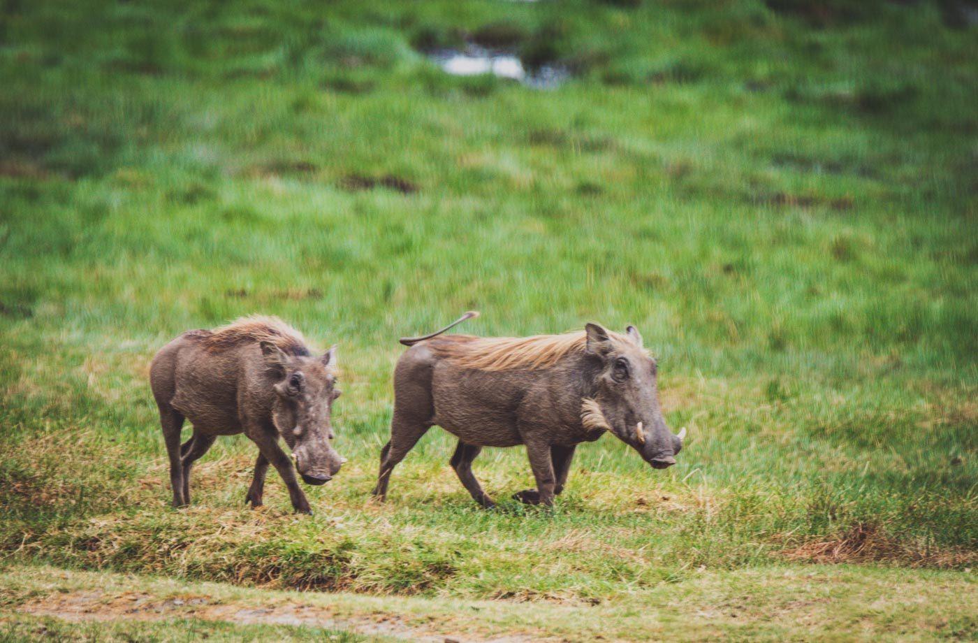 Serengeti safari warthogs