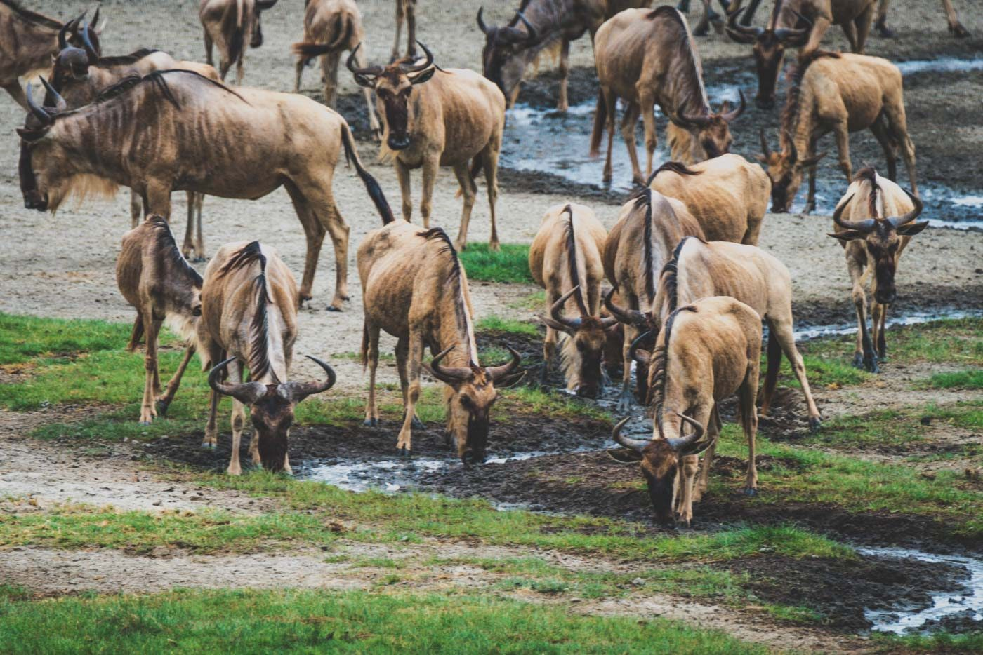 Serengeti wildlife at the water
