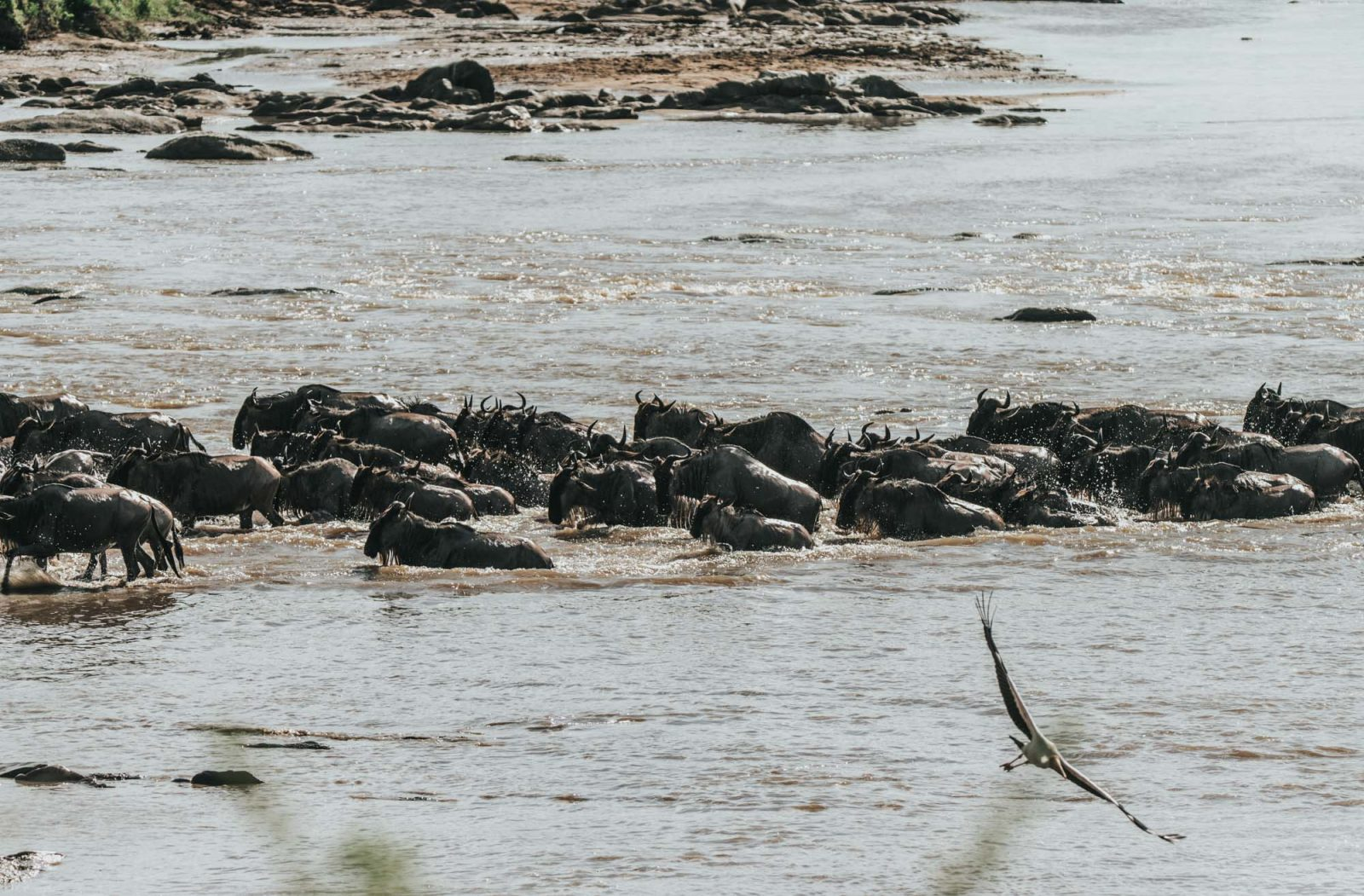 Serengeti Safari, wildebeest
