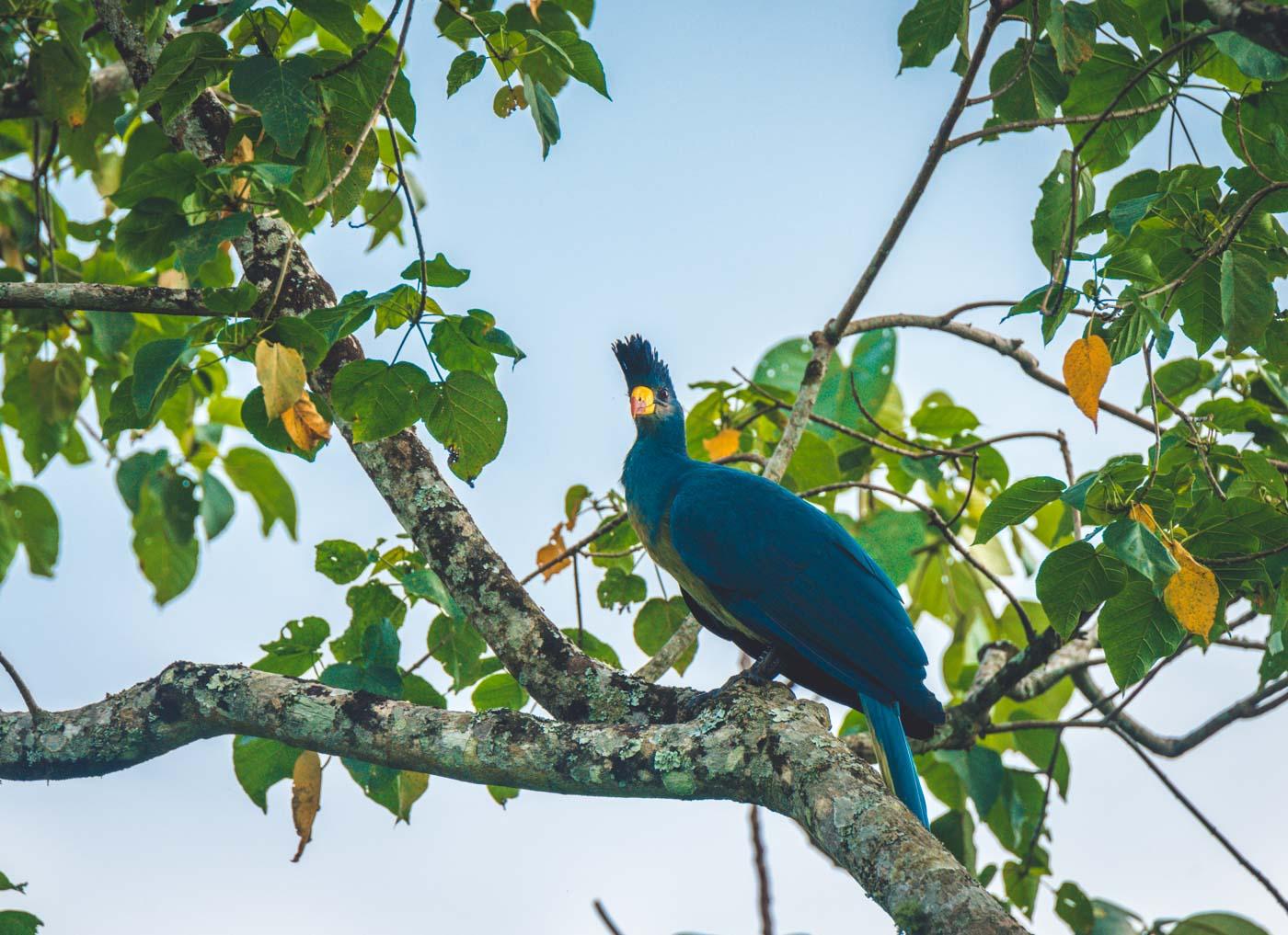 Blue Turaco at the Bigoti Wetland outside of Kibale National Park