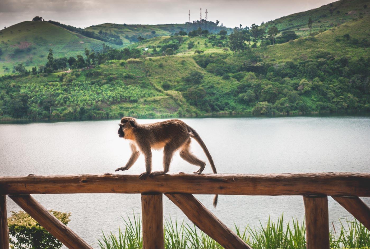 Friendly visitor at the Crater Safari Lodge in Uganda