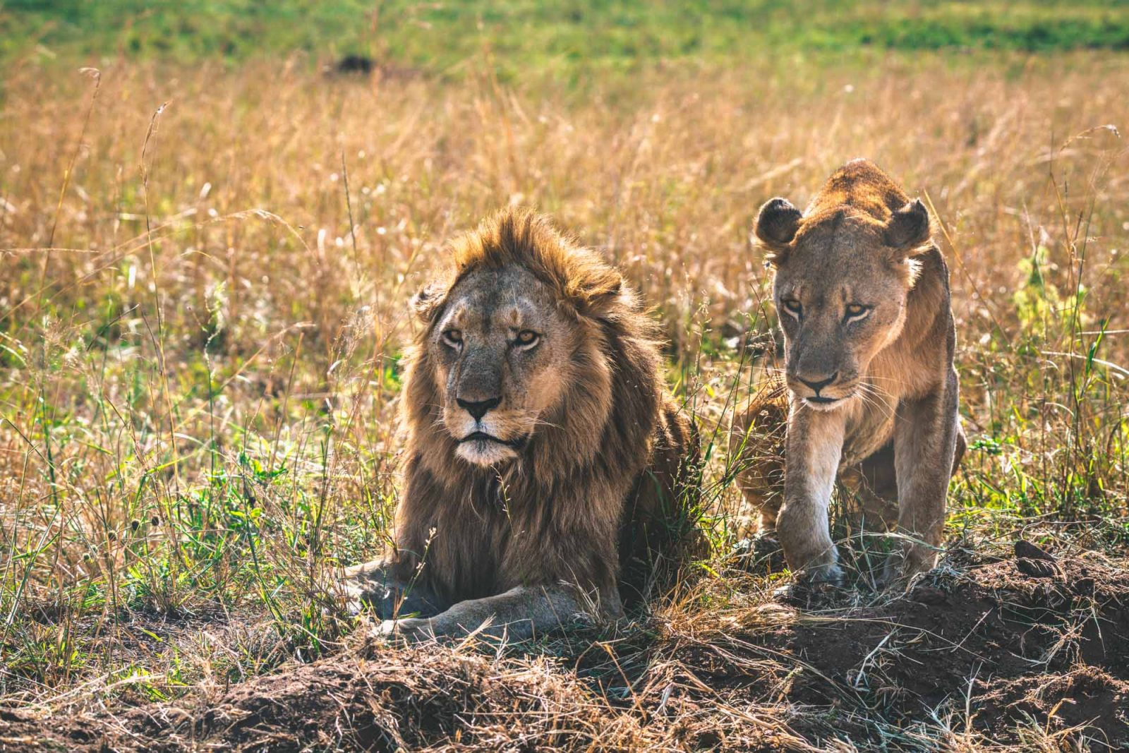 Male and female lions at the Kidepo National Park in Northern Uganda