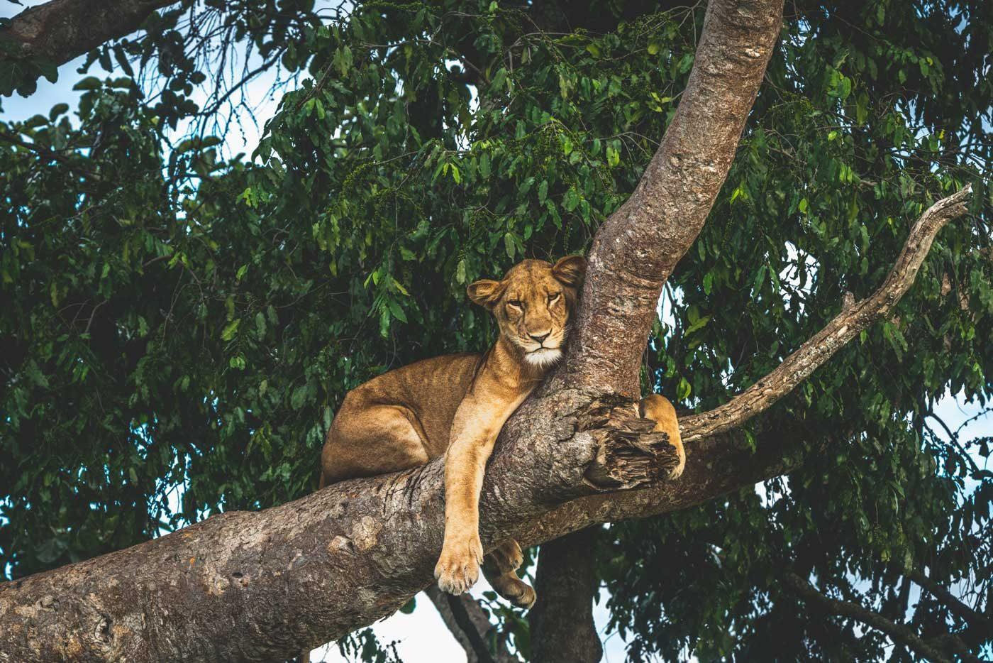 Tree climbing lion in Queen Elizabeth National Park, Uganda