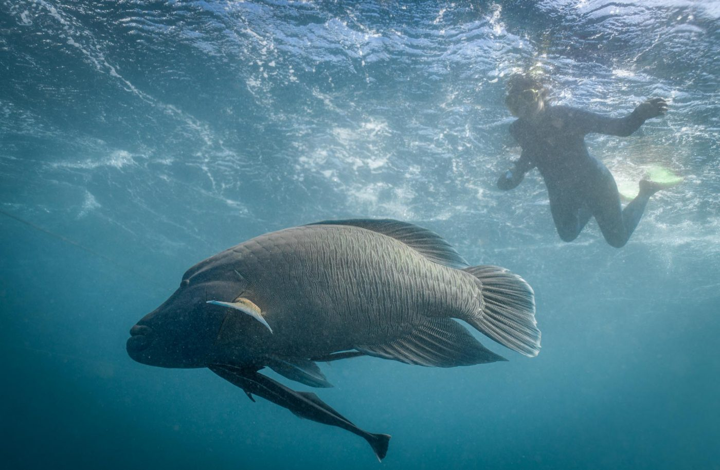 Snorkeling with Napoleon Wrasse at Heart Pontoon. Great Barrier Reef