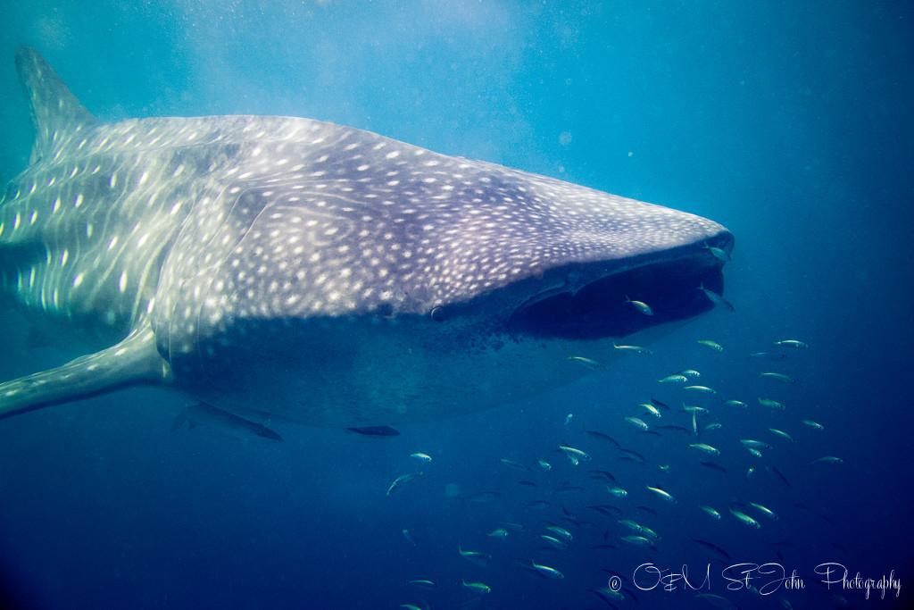 Western Australia itinerary: Whaleshark in Ningaloo Reef. Western Australia
