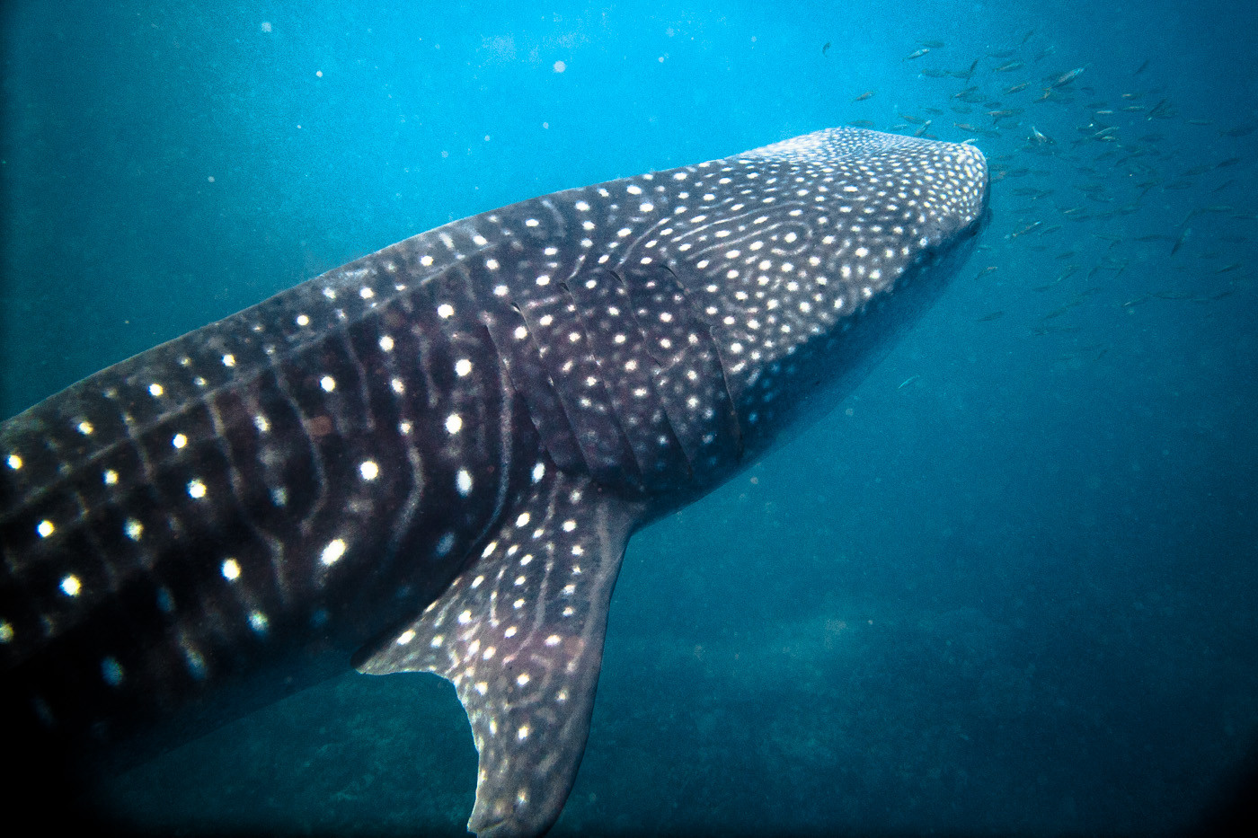 Sustainable travel in Australia: Whale Sharks in Ningaloo Reef. Exmouth. Western Australia. Cover Photo