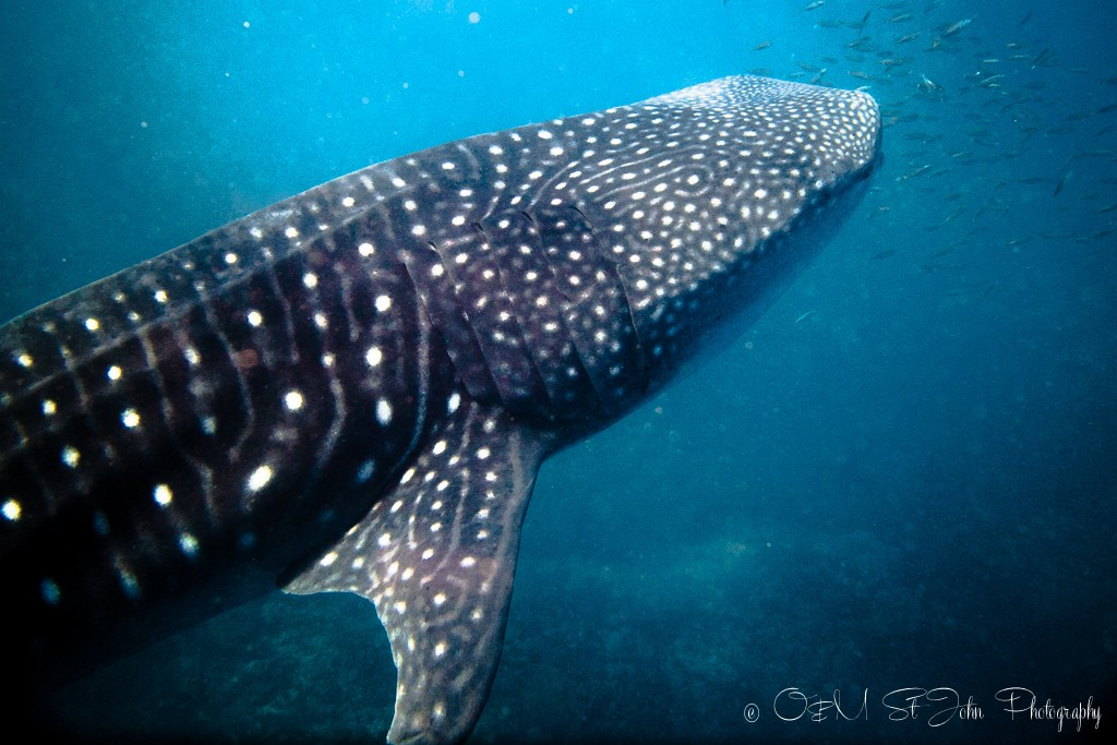 Whale shark in Ningaloo Reef. Exmouth, WA
