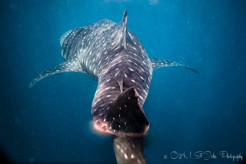 Whale shark in Ningaloo Reef. Exmouth. Western Australia