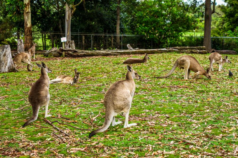 Eating Kangaroo Meat - An Insight Into Australian Culture