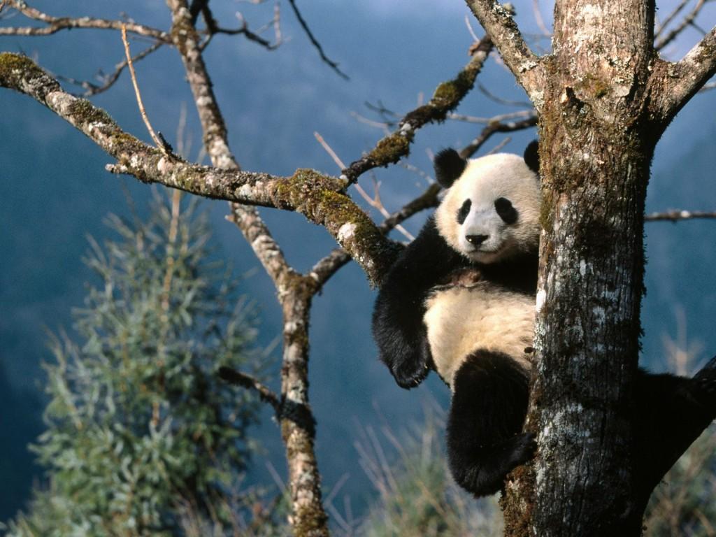Panda at the Chengdu Panda Breeding and Research Center, China - things to do in China
