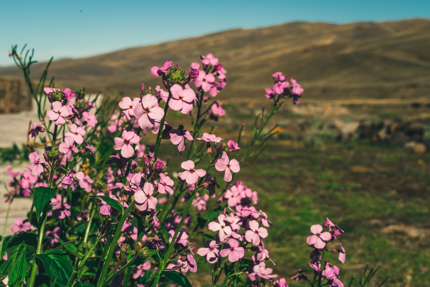 Mata negra flower, native to South America, blooms in the fields of Patagonia, Chile