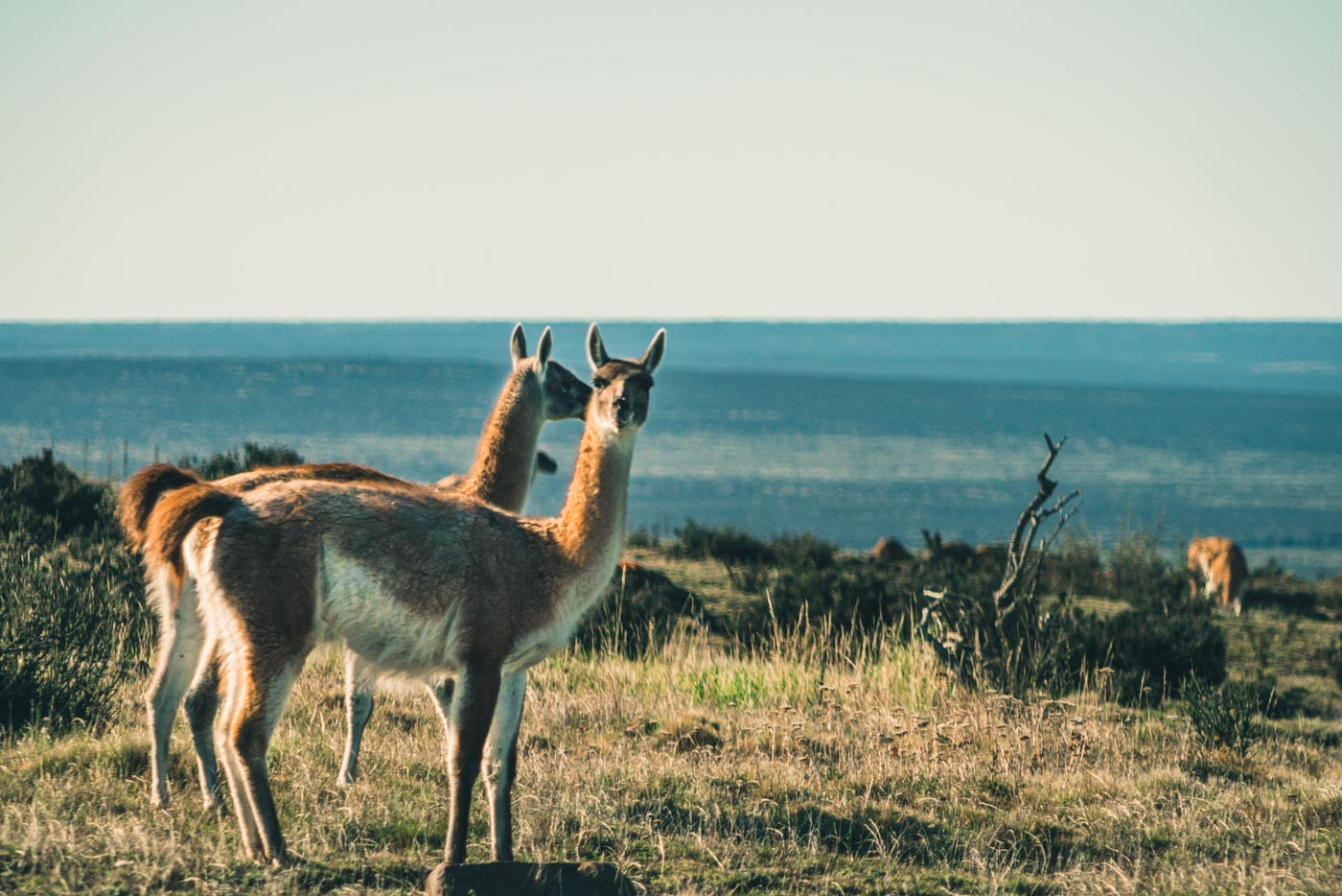 Guanacos in valley of Baguales, Puerto Natales, Chile