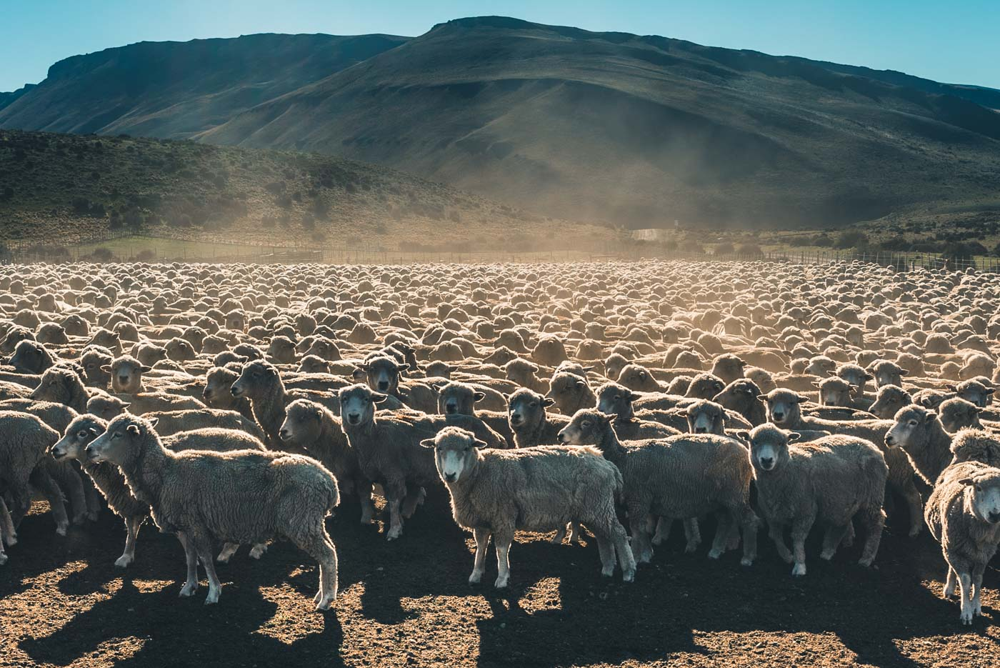 A herd of sheep at a sheering station near Puerto Natales