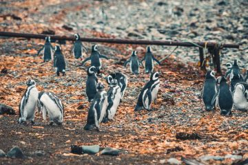 March Of The Penguins And The Roar Of Sea Lions In Punta Arenas, Chile