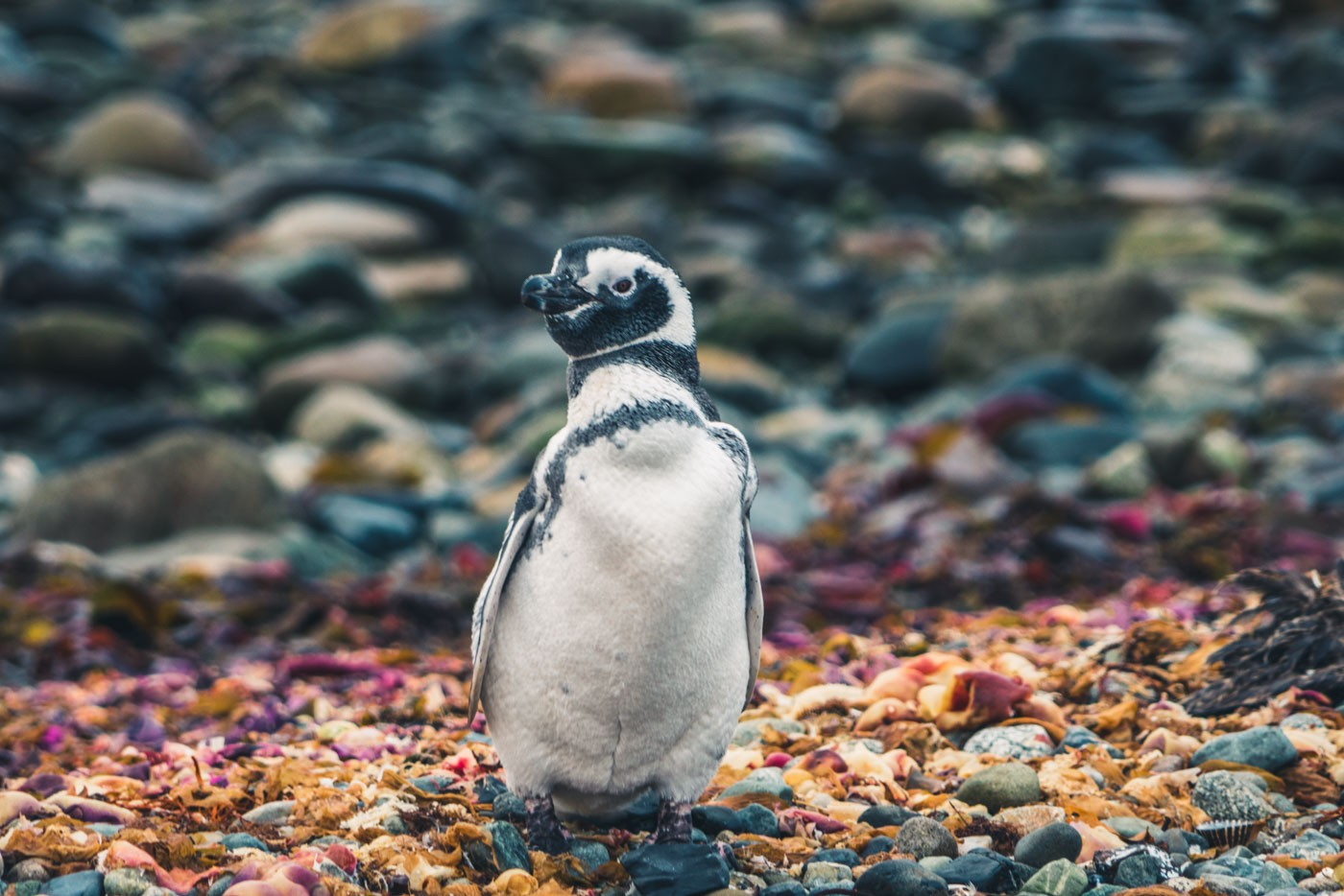 Magellanic penguin poses for a photo on Isla Magdalena, Patagonia, Chile