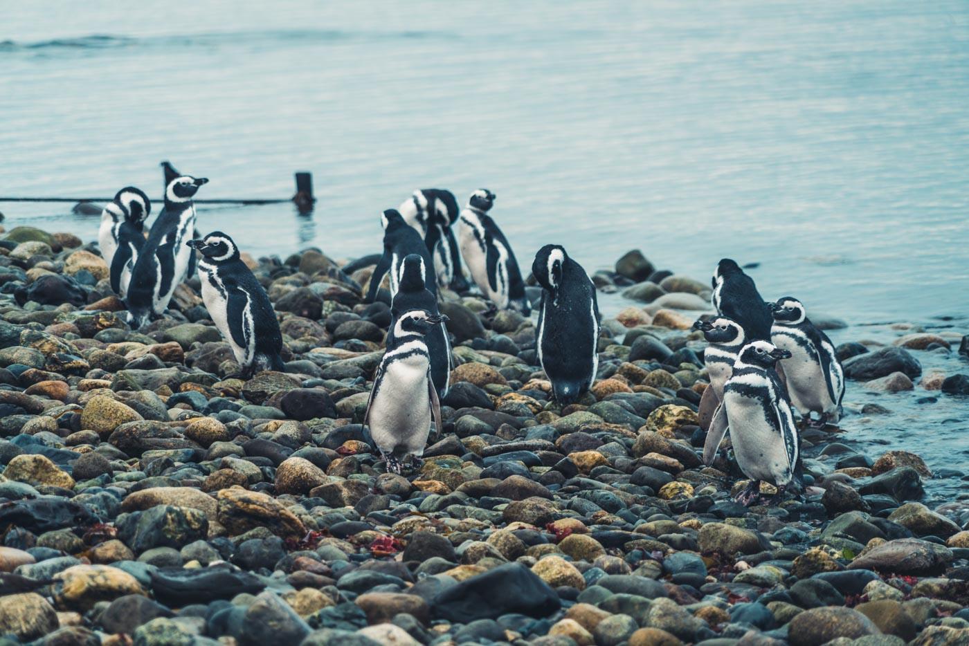 punta arenas penguin tour
