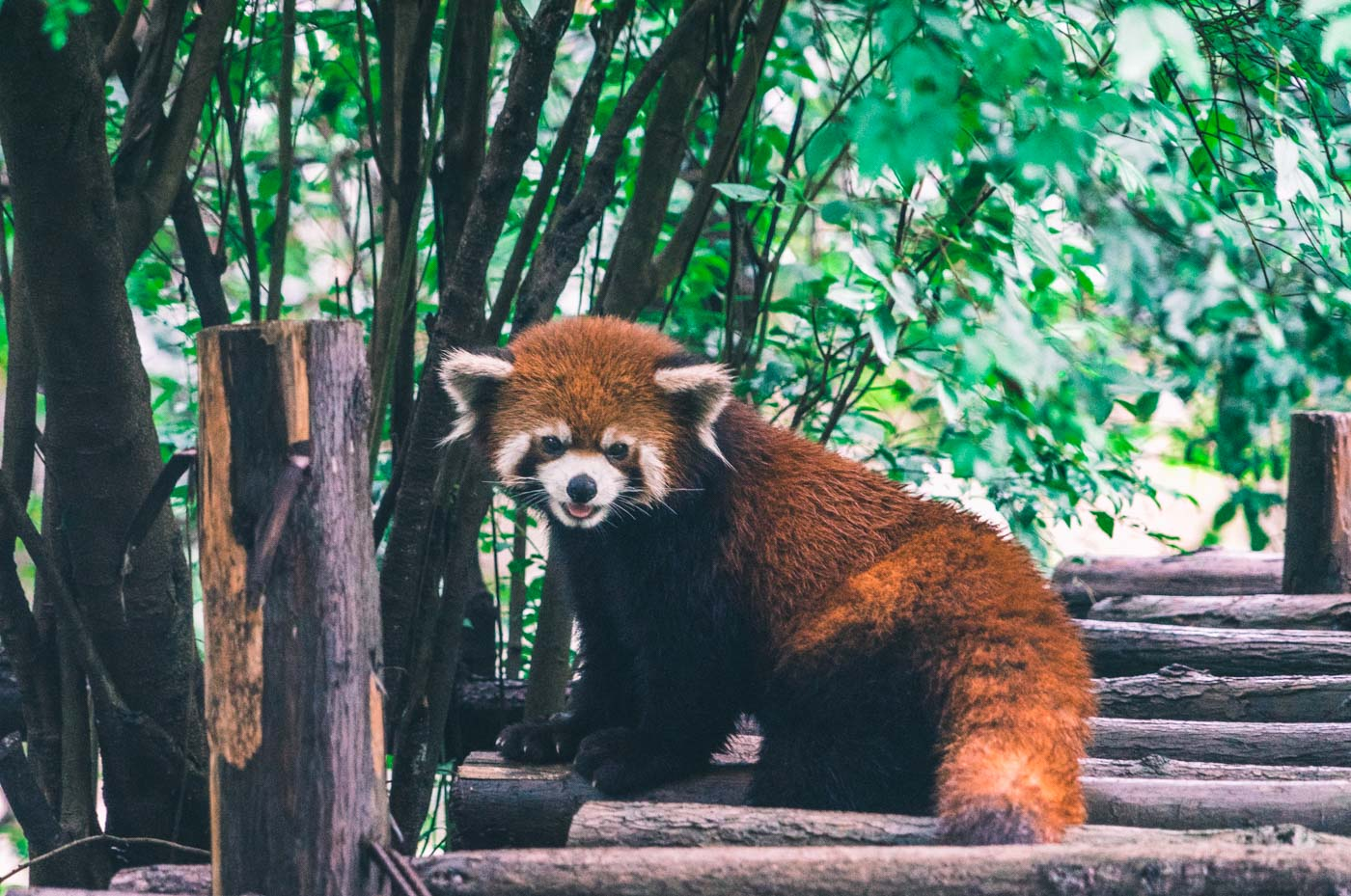 Red panda at the Chengdu Panda Research Centre, Chengdu, China