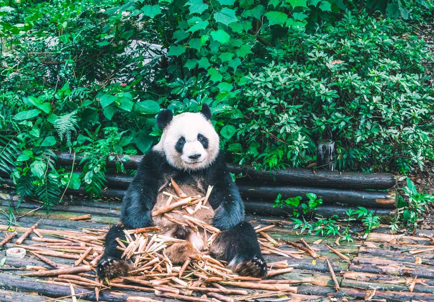 Panda at the Panda Research Centre in Chengdu
