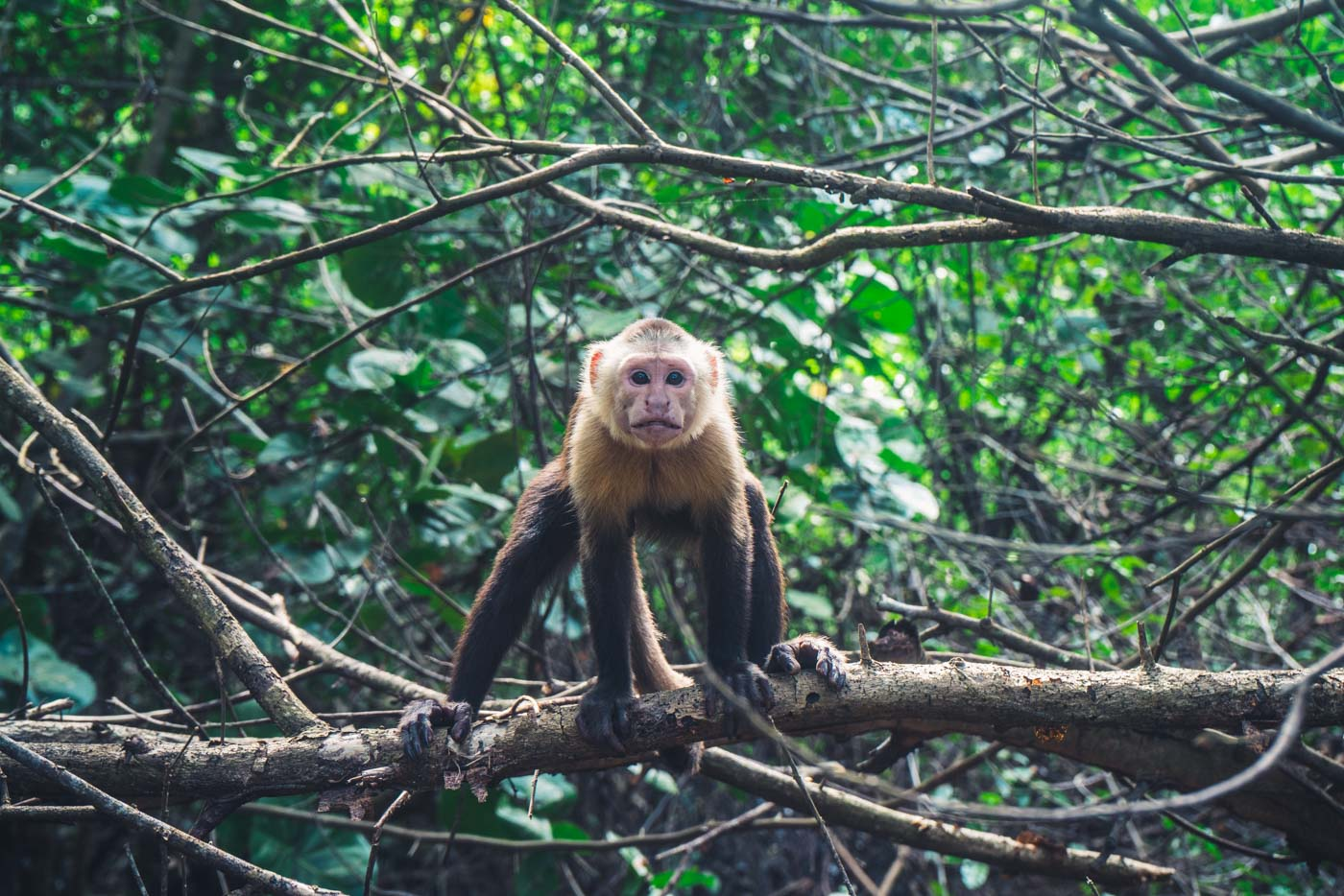 White faced capuchin monkey in Tayrona National Park, Santa Marta