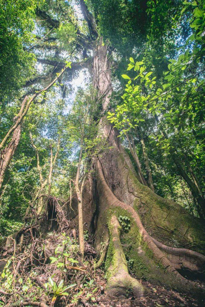 Arenal Costa Rica: Volcano Tree