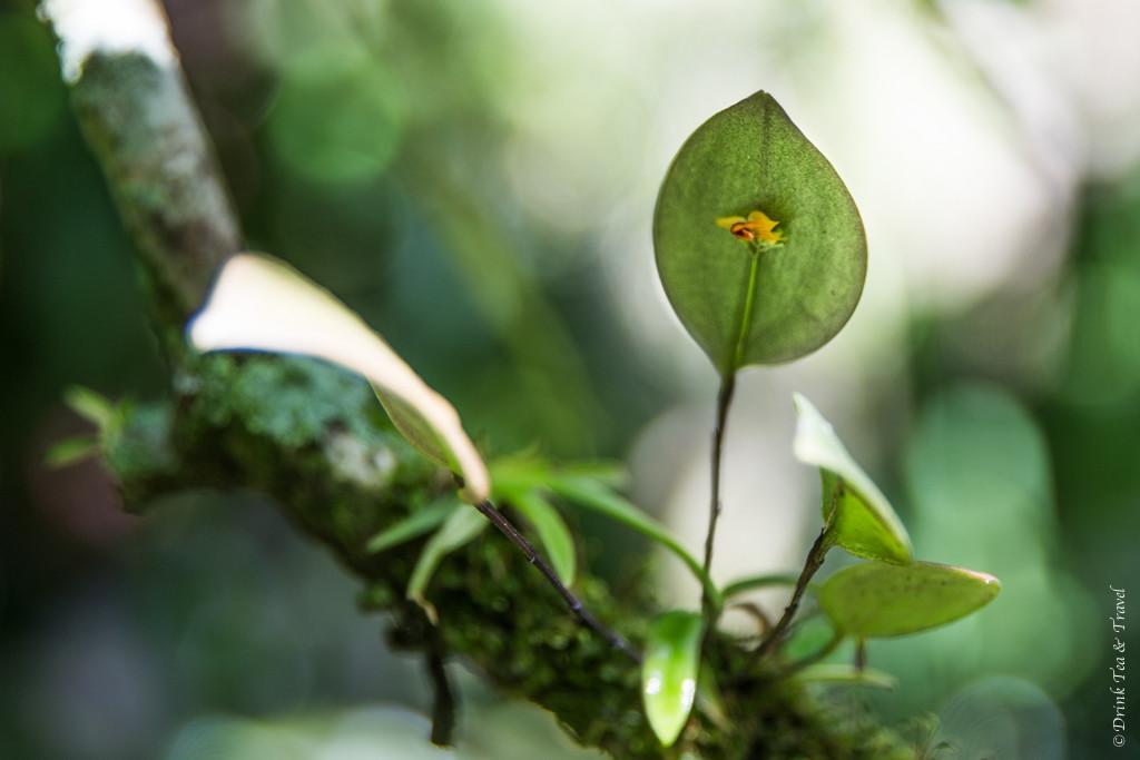 Tiniest orchid found in Costa Rica. Monteverde, Costa Rica