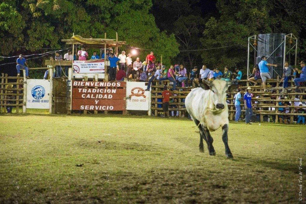 One of the bulls shortly after the rider has fallen off
