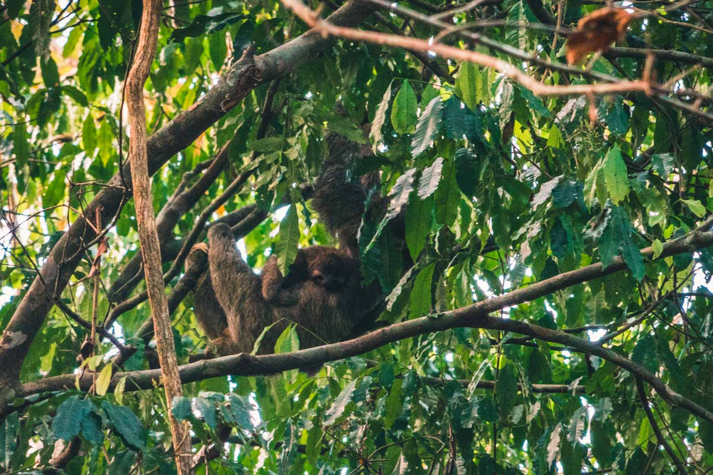 Baby sloth and mama sloth hanging on a tree in Corcovado National Park