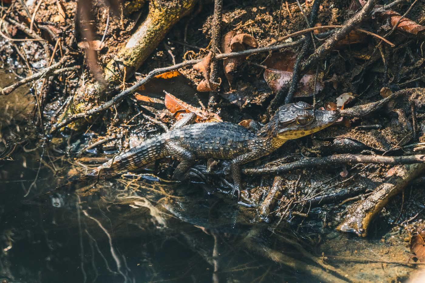 animals in Costa Rica, crocodile