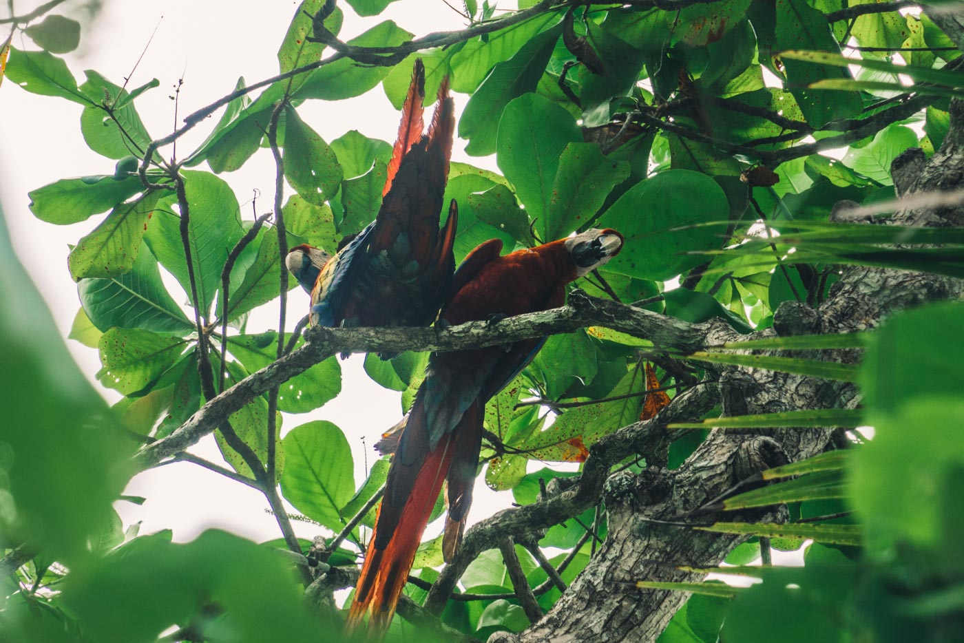 Visit Corcovado National Park: There are lots of parrots inside Corcovado National Park