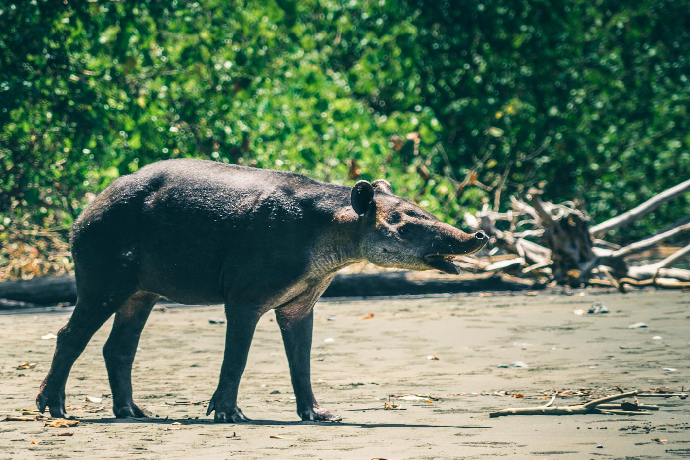 Visit Corcovado National Park: Baird's Tapir, one of the rarest mammals to see in Corcovado National Park