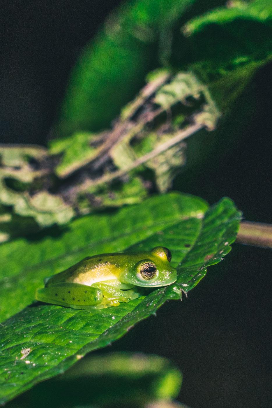 Puerto Jimenez Costa Rica: Frogs inside Corcovado Park