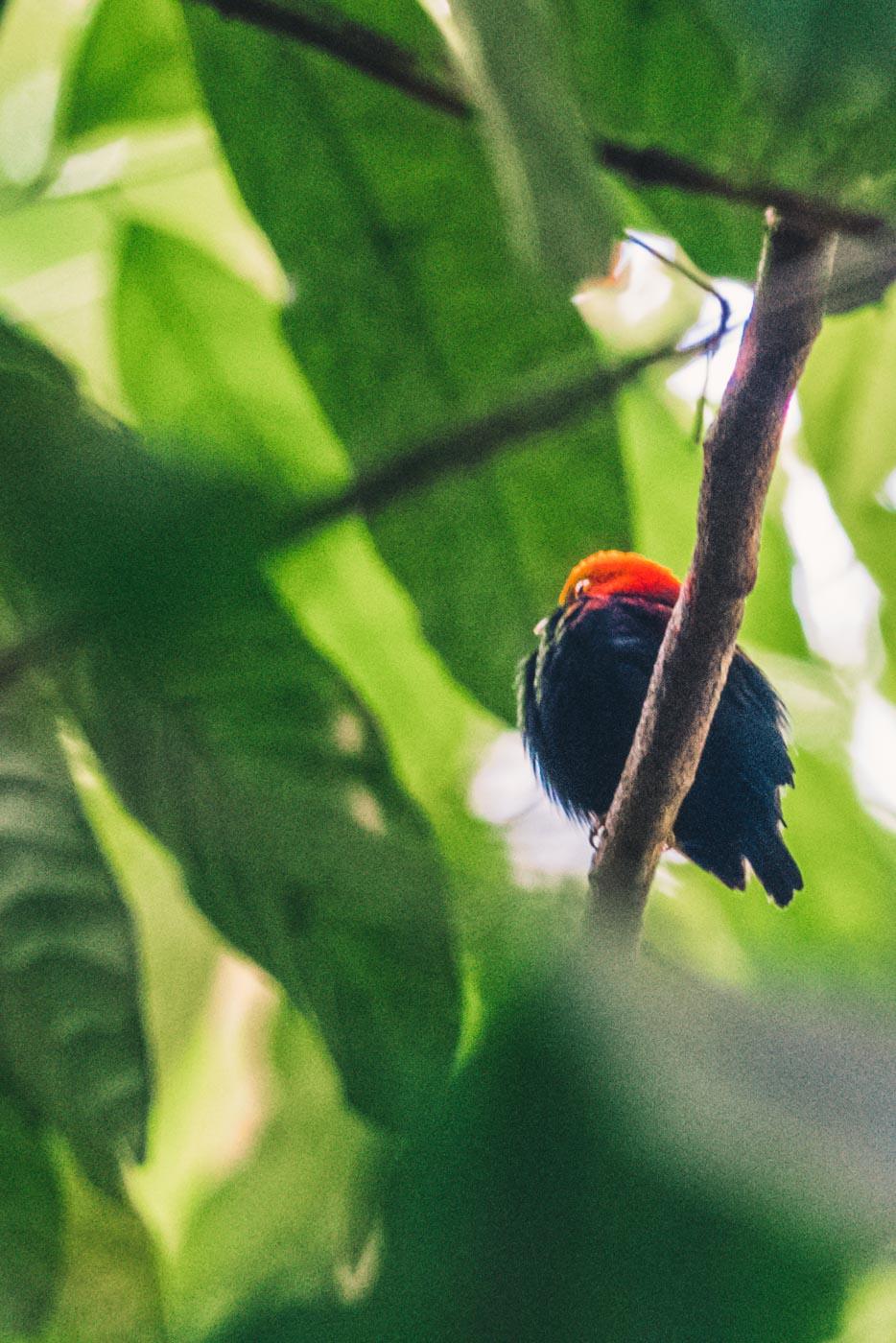 Puerto Jimenez Costa Rica: bird