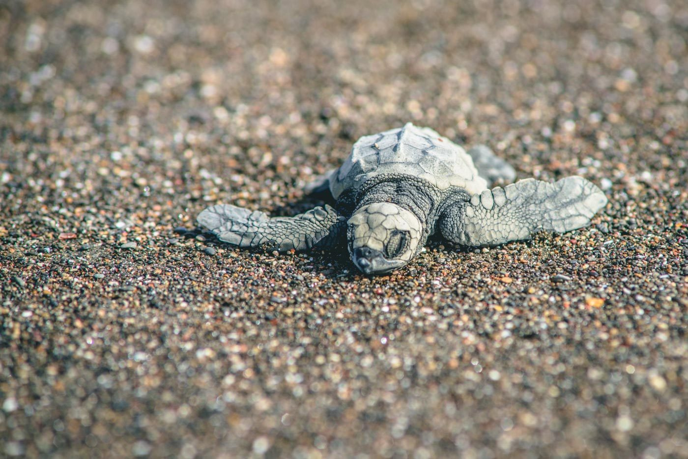 Baby turtle on a beach in Costa Rica