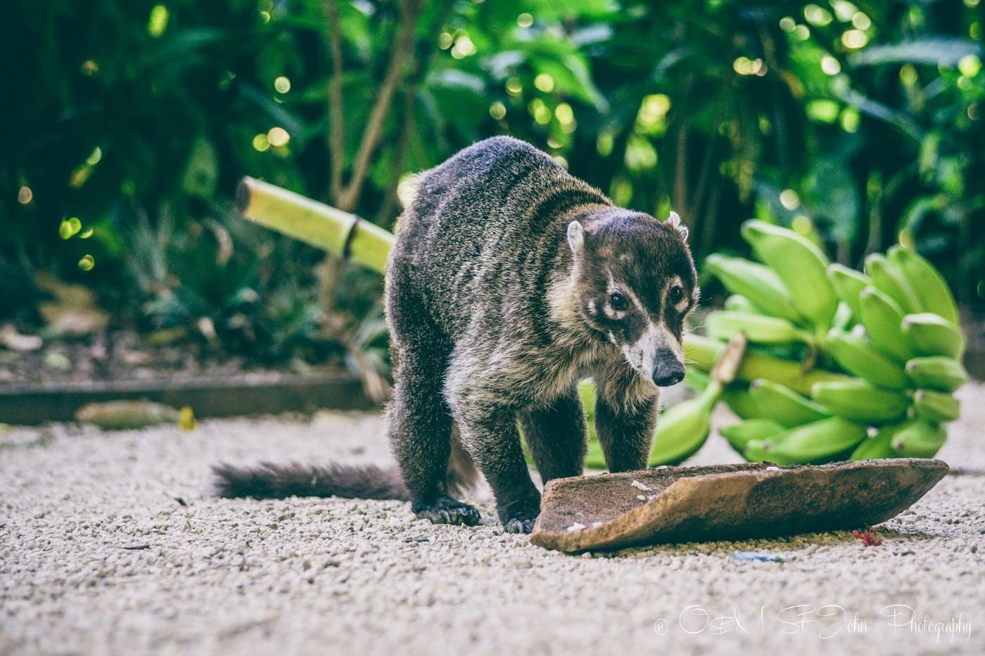 Coco, the pizote, coti. Samara Costa Rica: