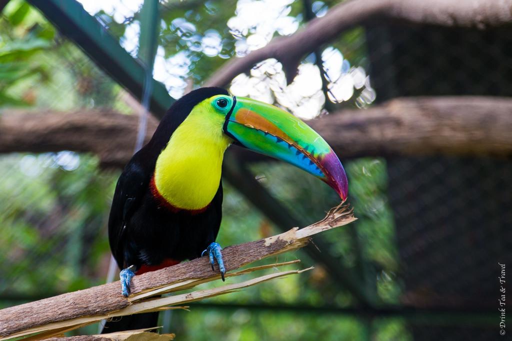 Costa Rica Animals: Toucan