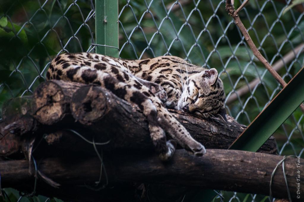 Costa Rica Animals: Ocelot