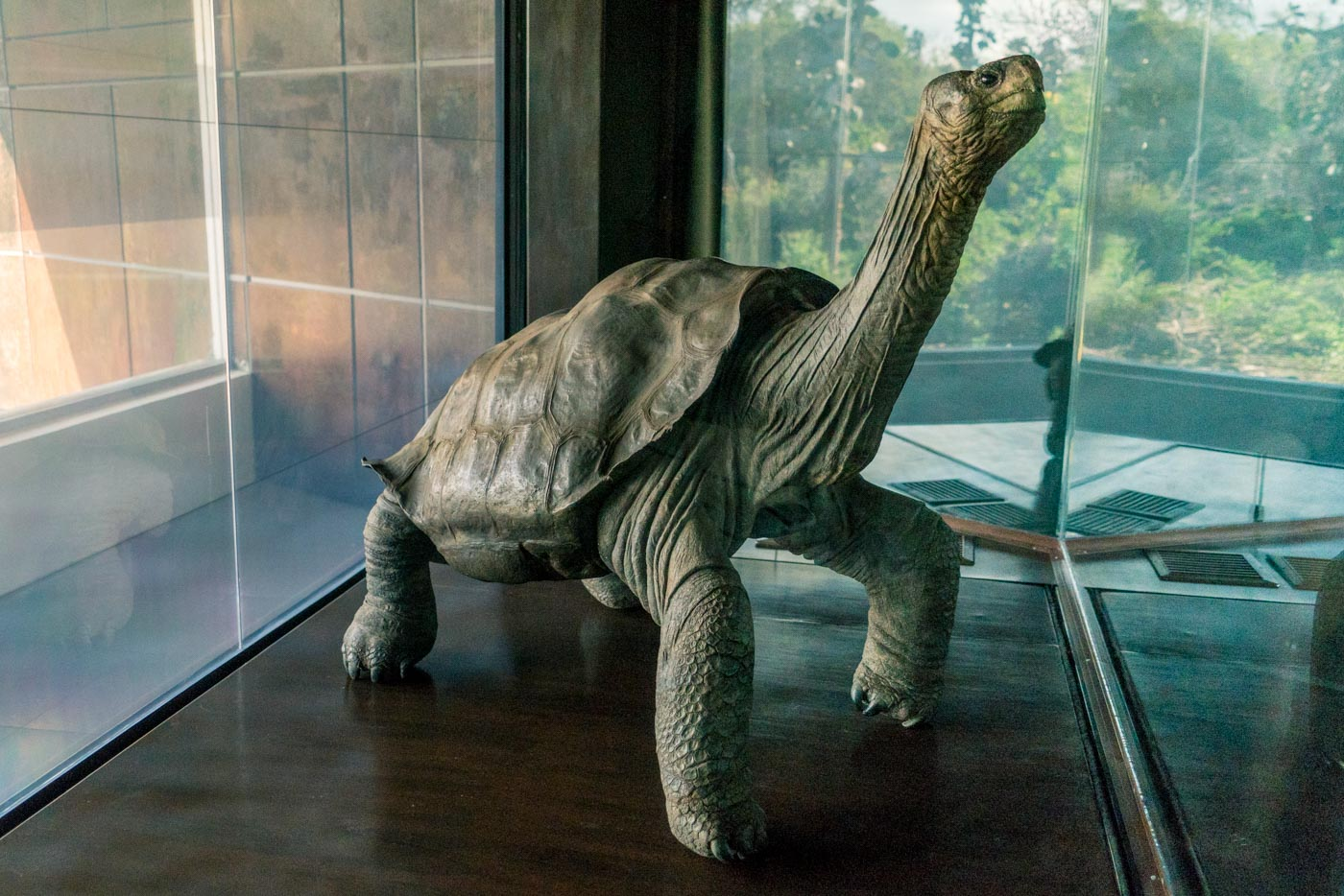 Taxidermy of Lonesome George on displays at the Charles Darwin Research Station