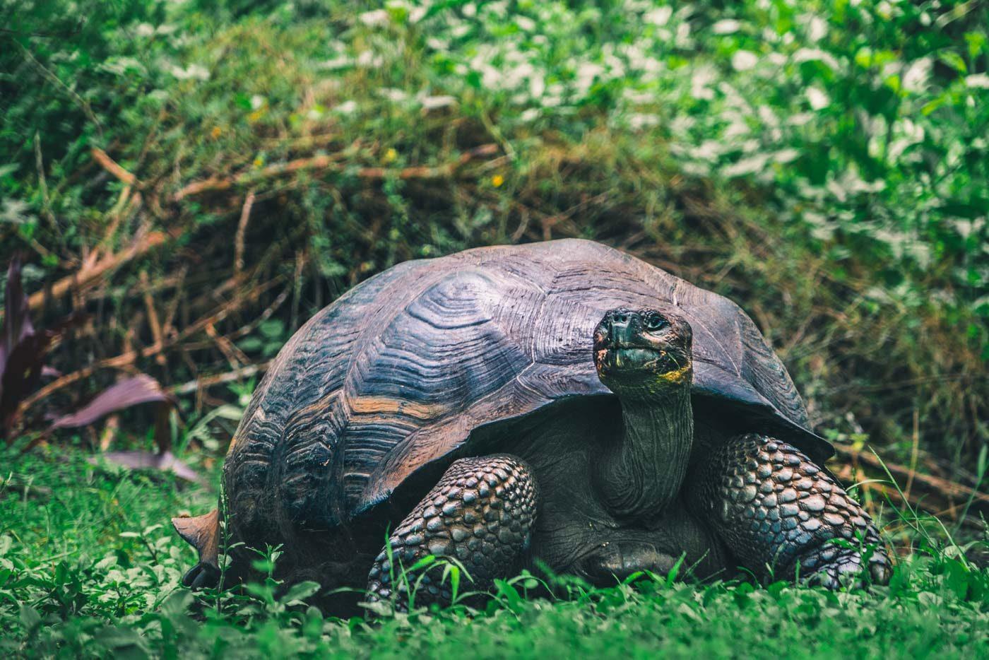 Tortoise on Santa Cruz Island, Galapagos